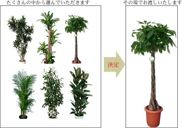 たくさんの観葉植物からお選びいただけます。
